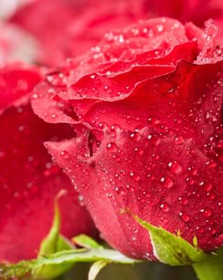 Mijn oog ziet een rode roos